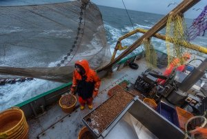After the end of the cockle season, the brown shrimp season is under way for fishermen aboard Jolene